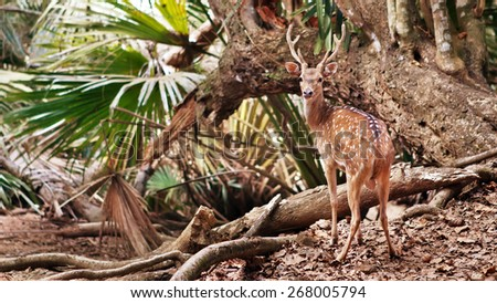 Wild deer on the tropical forest background - stock photo