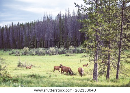 Wild deers in the meadow near the forest, USA. Natural photography. - stock photo