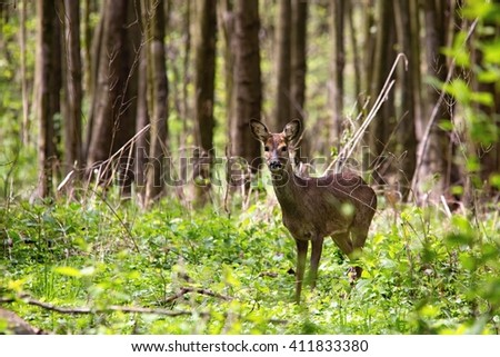 wild doe in the forest
