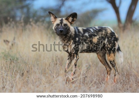Wild dog in natural bush, South Africa