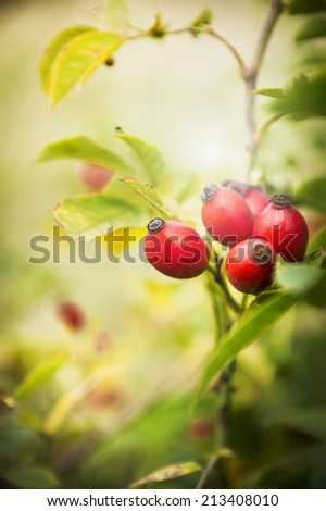wild dog rose fruit in autumn garden - stock photo