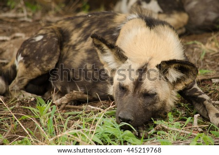 Wild dog sleeping in the African bush - stock photo