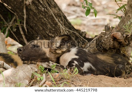 Wild dog sleeping under a tree in the African bush - stock photo
