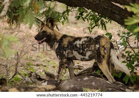 Wild dog standing guard under a tree - stock photo