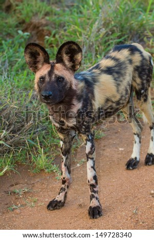 Wild dog standing looking for prey to hunt - stock photo