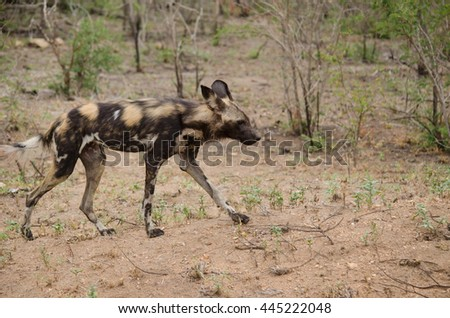 wild dog walking through the African bush - stock photo
