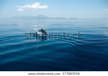 Wild dolphins swimming in their natural habitat in the Corinthian Gulf