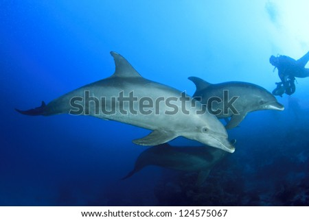 Wild Dolphins Underwater and Scuba Diver