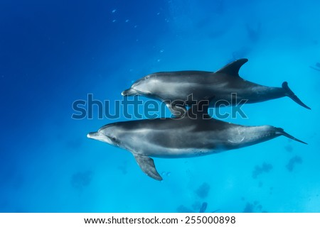 Wild dolphins underwater. Sealife marine animals design template. - stock photo