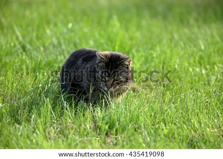 Wild Domestic Cat at hunting mice