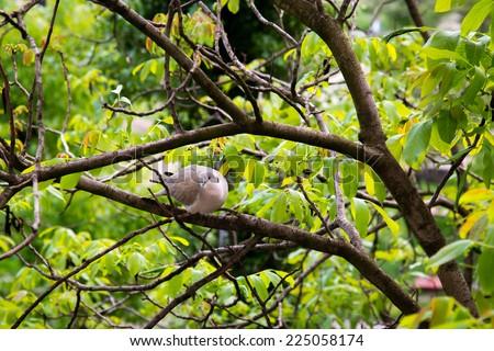 Wild dove on the tree - stock photo