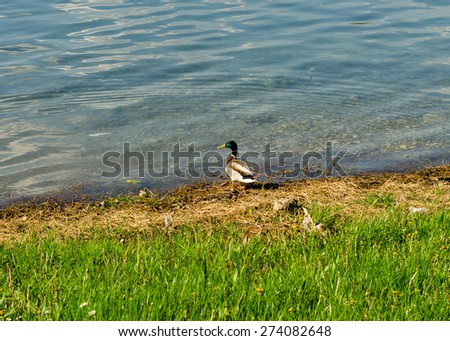 Wild duck - stock photo