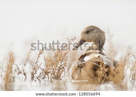 Wild Duck (Anas platyrhynchos) - stock photo