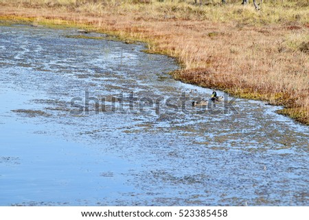 Wild duck couple in swamp waters.