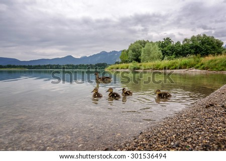 wild duck family on the forggensee - stock photo