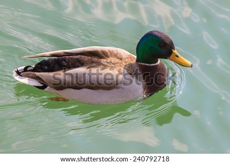 Wild duck floating on a pond - stock photo