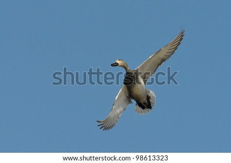 wild duck flying (anas strepera)