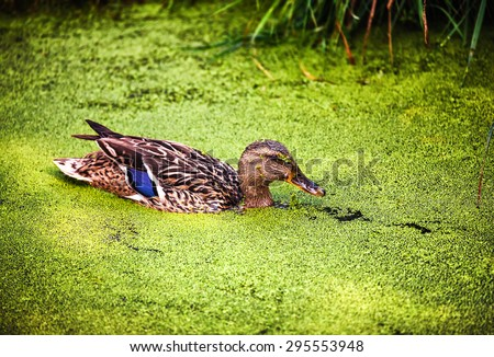 Wild duck in a layer of floating aquatic plant lesser duckweed  - stock photo