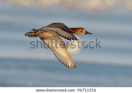 wild duck in natural habitat (aythya ferina) - stock photo