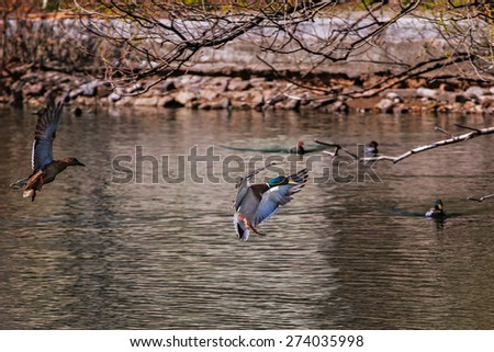 Wild duck in their natural habitat . - stock photo