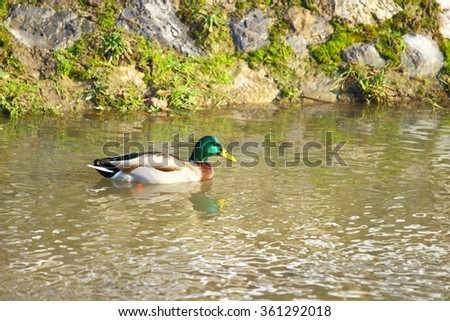 Wild duck male in water - stock photo