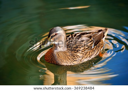 wild duck on the pond and circles on the water around - stock photo