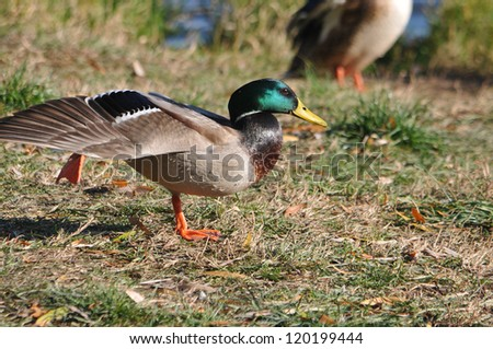 Wild duck on the shore