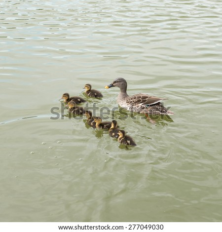 Wild duck swims with ducklings
