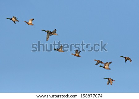Wild ducks flying in the sky - stock photo