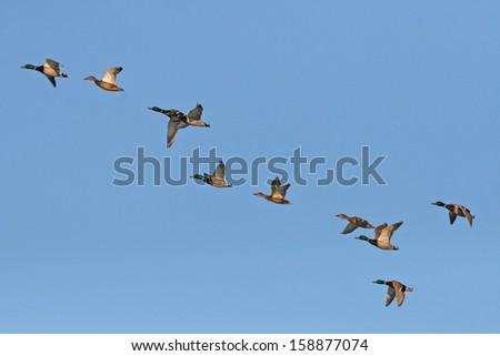 Wild ducks flying in the sky - stock photo