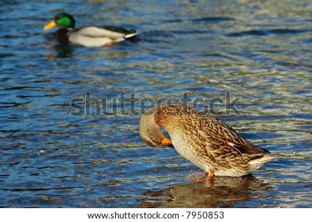 Wild ducks  in blue water of river - stock photo