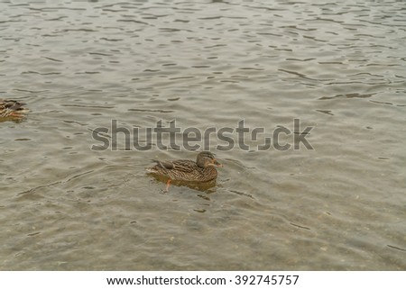 Wild ducks in the river