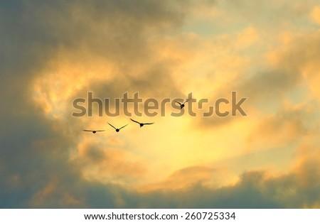 wild ducks in the sky at sunset - stock photo