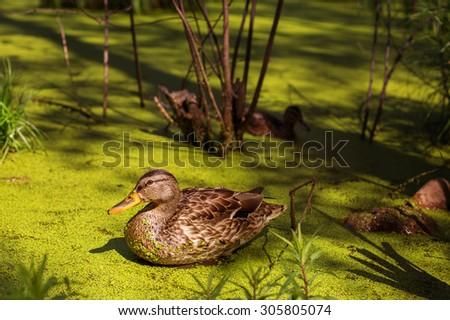 Wild Ducks on Beautiful  Green Pond  - stock photo