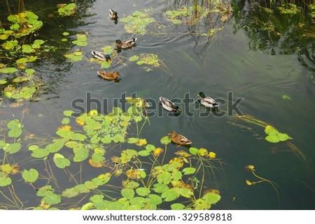 Wild ducks on the lake - stock photo