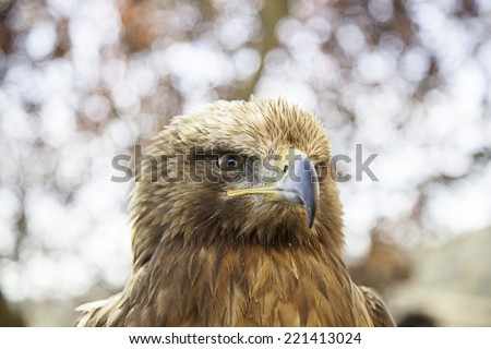 Wild eagle in captivity, detail of a dangerous bird, animal power - stock photo