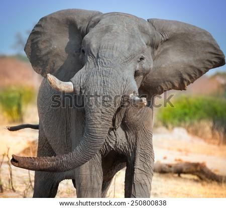 wild elephant charging head on - stock photo