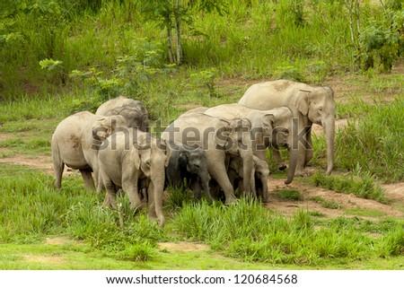 wild elephant from thailand - stock photo