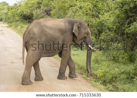 Wild elephant in Yala National Park crosses the road, Sri Lanka