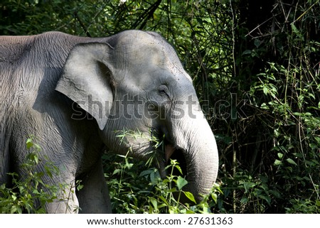 wild elephant plucking and eating bamboo in the dense forest