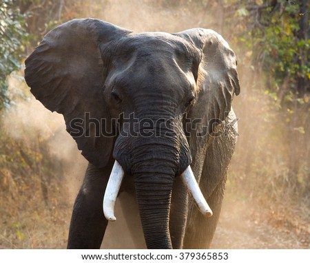 Wild Elephant throws the dust. Zambia. South Luangwa National Park.  An excellent illustration.