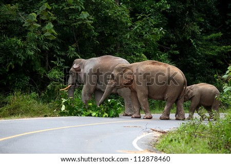 Wild elephants eat grass and trees at along the road in Khao Yai National Park, Thailand - stock photo