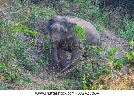 Wild elephants (Elephas maximus) walking toward me in real nature at Kengkracharn national park, Thailand - stock photo