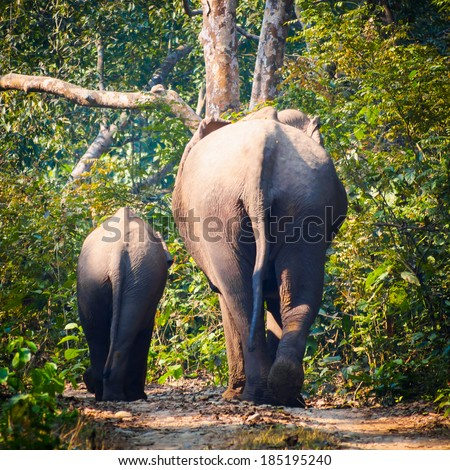 Wild elephants (from herd of about 17) walk along a track in Bardia National Park, Nepal - stock photo