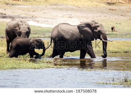 Wild Elephants in Chobe River, Chobe National Park, Botswana, Africa - stock photo