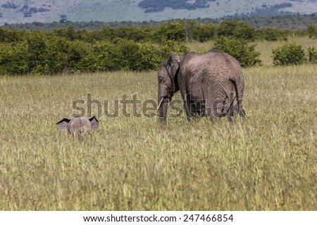 Wild elephants in Maasai Mara National Reserve, Kenia. - stock photo