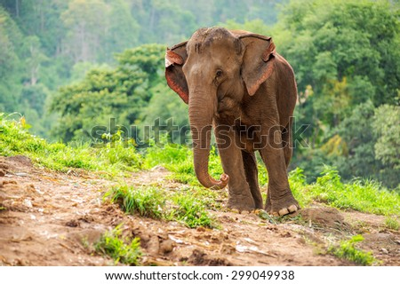 Wild elephants in Thailand Chiang Mai National Park.
