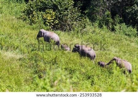 Wild elephants in Thailand Khao Yai National Park. - stock photo