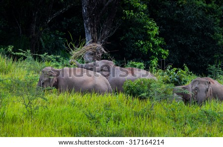 Wild elephants on blady grass and pulling in the air in real nature at Khao Yai national park,Thailand - stock photo