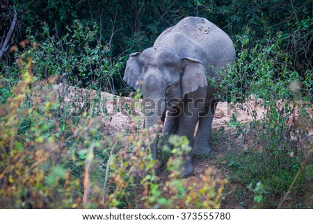 Wild elephants sucking the water in real nature at Kengkracharn national park, Thailand - stock photo